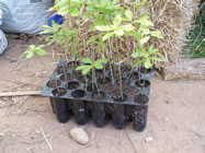 Oak seedlings